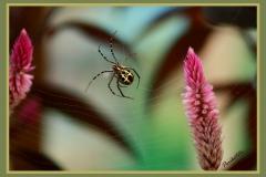 araña camboyana
